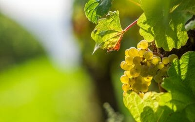 'Promotie voor onze wijnbouwers'